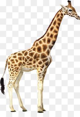 Giraffe Png Amp Giraffe Transparent Clipart Free Download