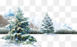Polar Bear, Bear, Polar Bear Cubs, Fir, Pine Family PNG image with transparent background