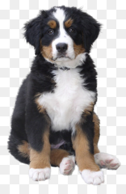 Greater Swiss Mountain Dog Png Greater Swiss Mountain Dog