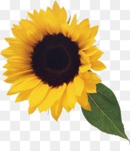 Common Sunflower, Computer Icons, Xcf, Sunflower Seed, Flower PNG image with transparent background
