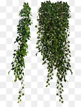 Plant Leaves, Common Ivy, Plant, Evergreen PNG image with transparent background