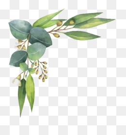 Eucalyptus Polyanthemos, Watercolor Painting, Leaf, Tree, Plant PNG image with transparent background