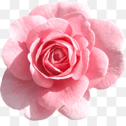 Rose png rose transparent clipart free download rose flower red png mightylinksfo