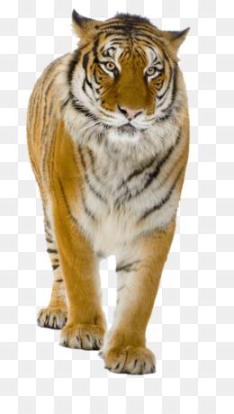 Harimau Png Gambar Unduh Harimau Gambar Transparan Png Siberian