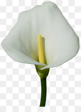 Callalily Png Flower Nature Flowers Border Light Tree Smoke