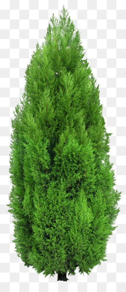 Mediterranean Cypress, Tree, Evergreen, Pine Family PNG image with transparent background