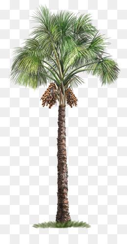Arecaceae, Tree, Mauritia Flexuosa, Evergreen, Plant PNG image with transparent background
