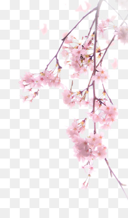 Cherry blossom png and psd free download adhesive tape paper png mightylinksfo