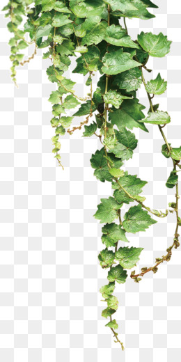 Vine Png Amp Vine Transparent Clipart Free Download Te No