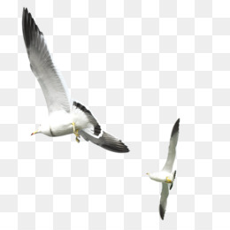Gulls, Bird, Encapsulated Postscript, Gull, Sky PNG image with transparent background