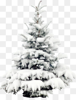 Pine, Fir, Snow, Pine Family PNG image with transparent background