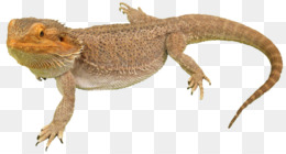Bearded Dragons Owning 1