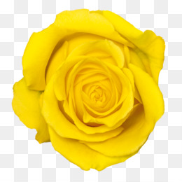 Yellow rose png yellow rose transparent clipart free download png mightylinksfo