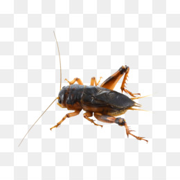 Cricket, Insect, House Cricket, Cockroach PNG image with transparent background