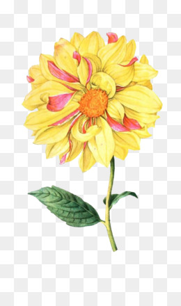 Flower, Botanical Illustration, Botany, Chrysanths PNG image with transparent background