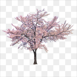 Tree, Cherry Blossom, Branch, Pink, Plant PNG image with transparent background