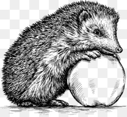 Hedgehog, Drawing, Royaltyfree, Porcupine, Rodent PNG image with transparent background