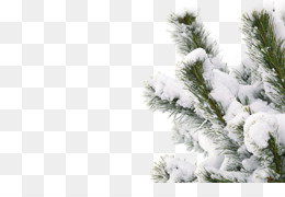 Winter, Snow, Smile, Fir, Pine Family PNG image with transparent background