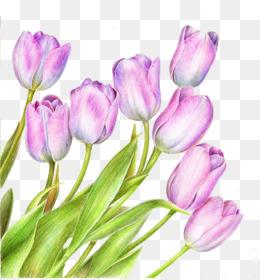 Tulipanes De Color Rosa Png Transparente Y Tulipanes De Color Rosa