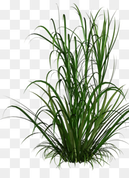 Grasses, Scalable Vector Graphics, Photography, Evergreen, Plant PNG image with transparent background