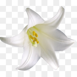 Lilium, Flower, Download, Plant PNG image with transparent background