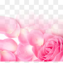 Garden Roses, Pink, Petal, Heart PNG image with transparent background