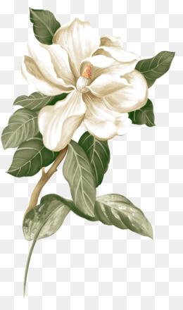 Flower, Jasmine, Botanical Illustration, Plant PNG image with transparent background