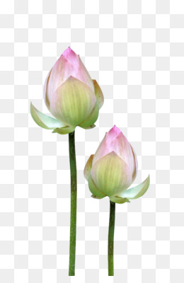 Lotus flower png lotus flower transparent clipart free download png mightylinksfo