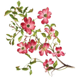 flowering dogwood virginia drawing clip art flowering branch rh kisspng com pacific dogwood clipart dogwood tree clipart