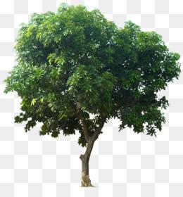 Mangifera Indica, Tree, Fruit Tree, Plant, Shrub PNG image with transparent background