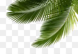 Arecaceae, Asian Palmyra Palm, Leaf, Plant PNG image with transparent background