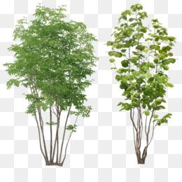 Free download Populus alba Tree Arecaceae - bushes png