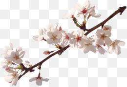 Apples, Flower, Blossom, Plant PNG image with transparent background