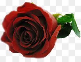 الحب كلمات أغنية الشعور وردة حمراء الزنبق باقة Png تحميل 630945