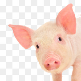 Piglet Domestic Pig Stock Photography Royalty Free