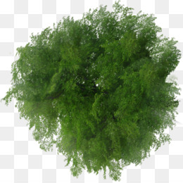 Tree, Plan, File Viewer, Evergreen, Plant PNG image with transparent background