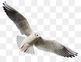 Bird, Gulls, Deviantart, European Herring Gull, Wildlife PNG image with transparent background