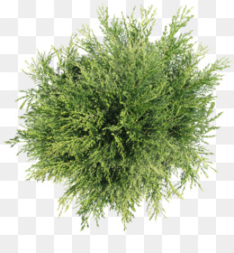 Tree, Plant, Shrub, Evergreen PNG image with transparent background