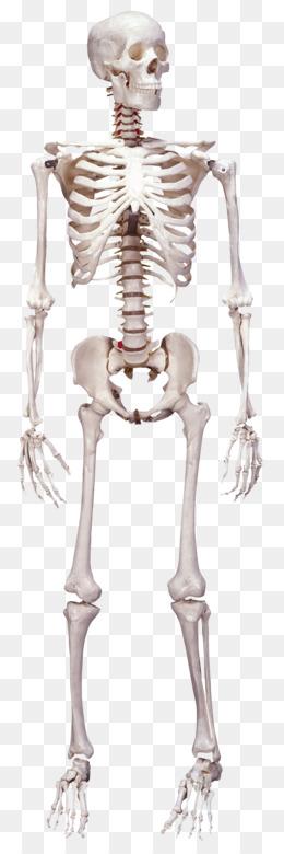 Vertebrate Human skeleton Bone Anatomy - Skull skeleton png download ...