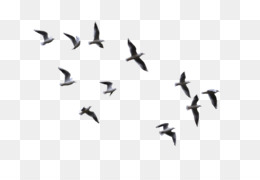 Bird, Flight, Gulls, Bird Migration, Water Bird PNG image with transparent background