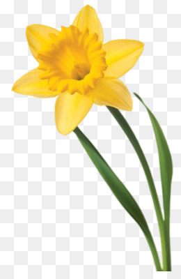 daffodil png daffodil transparent clipart free download drawing rh kisspng com daffodil clip uk daffodil clip art free