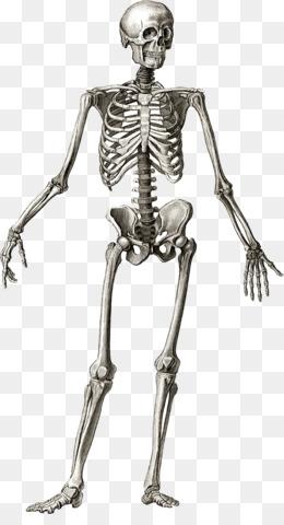 Human skeleton Anatomy Bone Human body - Skeleton png download - 885 ...