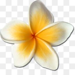 Free Download Frangipani Drawing Flower Clip Art