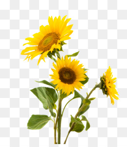 Sunflowers Png Amp Sunflowers Transparent Clipart Free