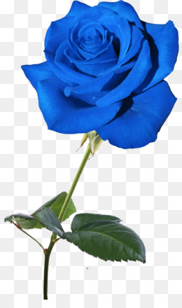 Free Download Blue Rose Flower Garden Roses Rosaceae Blue Rose Png