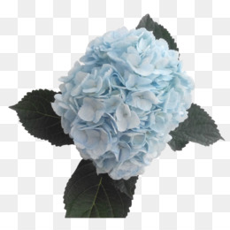 Descargar Gratis Hortensia Azul De Flores De Corte Color - Color-hortensia