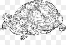 eastern box turtle reptile drawing tortoide png download 800 501