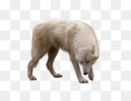 Dog, Arctic Wolf, Arctic, Canis Lupus Tundrarum, Arctic Fox PNG image with transparent background