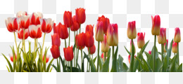 Flower, Tulip, Spring, Plant PNG image with transparent background