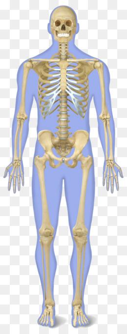 Human skeleton Human body Anatomy Bone - Skeletal System Clipart png ...